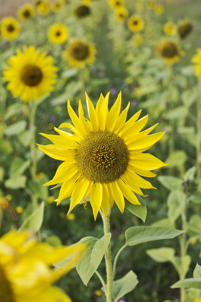 Solrosen är en av många ätbara blommor