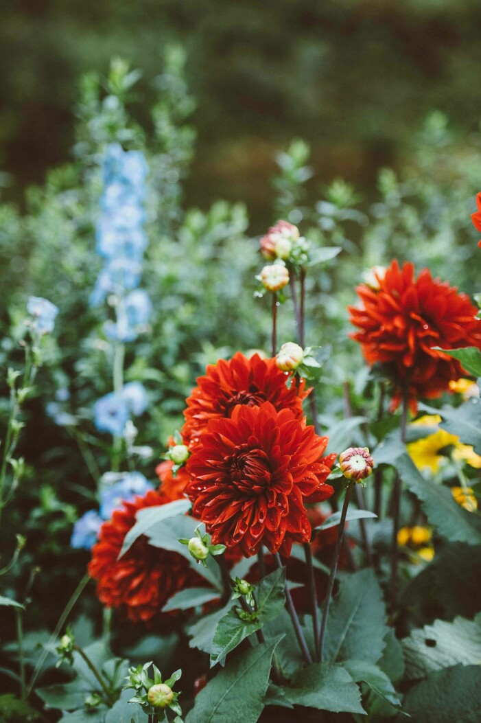ta upp dahlia-knölar på hösten för vinterförvaring