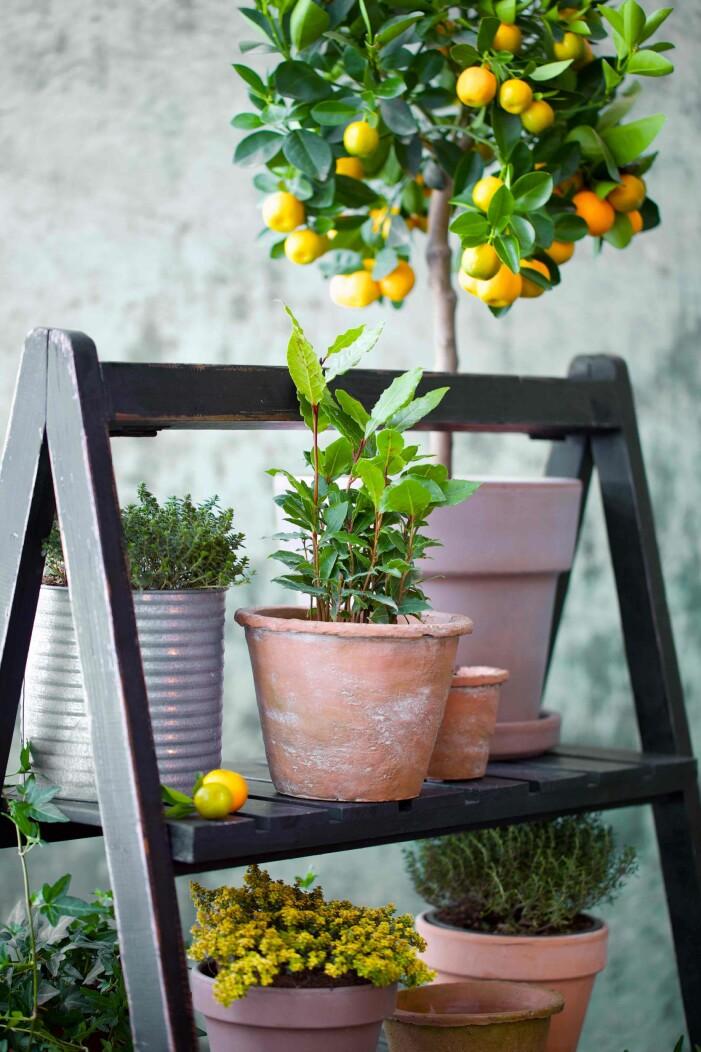 ta ut citrusträd och medelhavsträd
