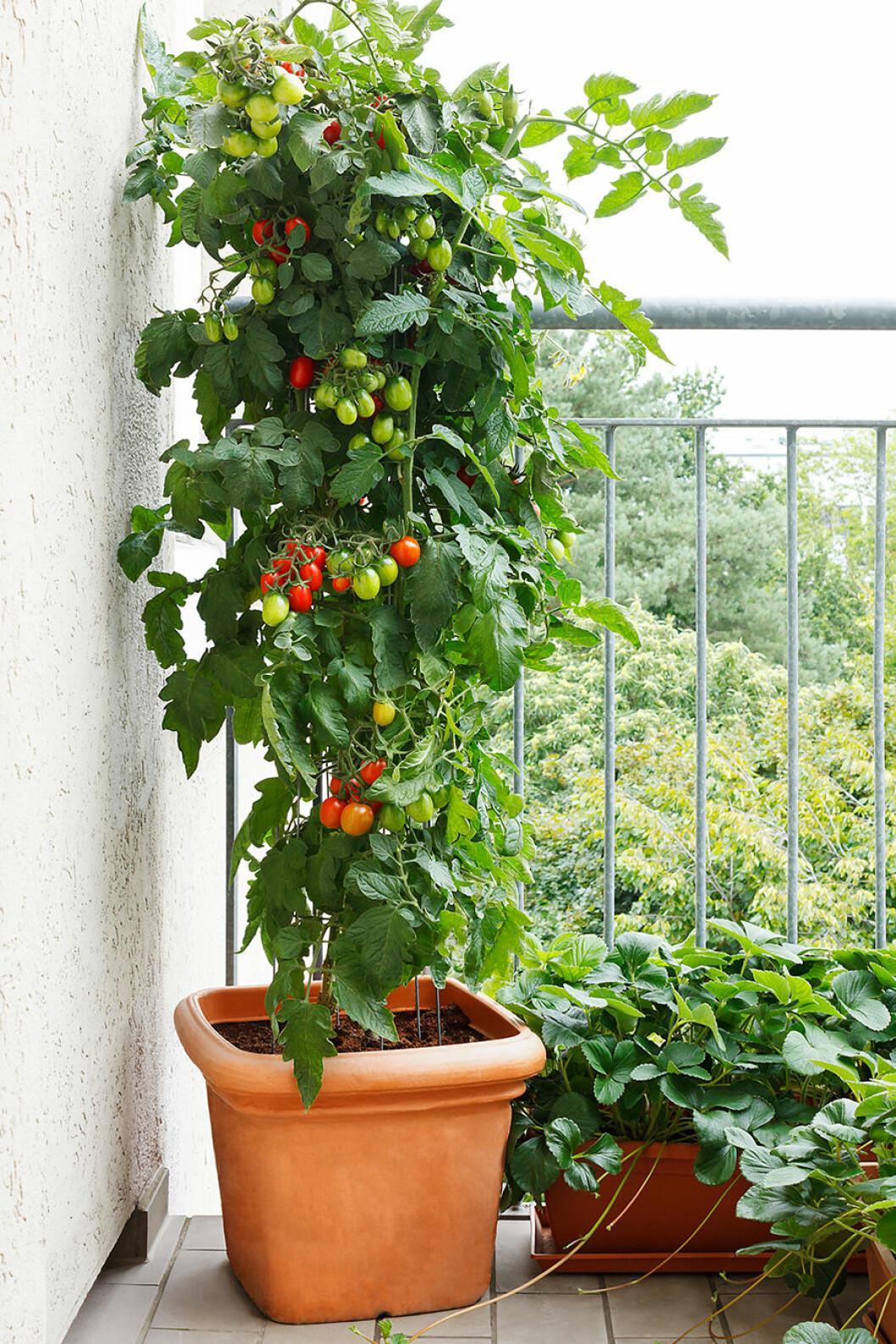 Tomatplanta på balkongen