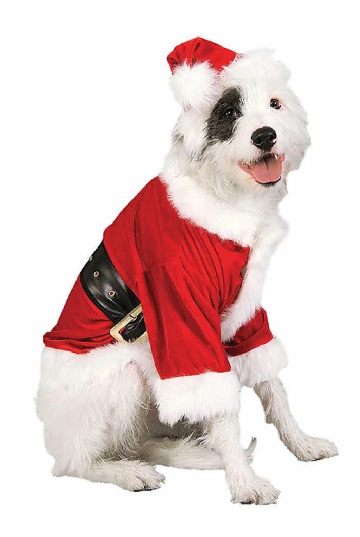 tomtedrakt-hund