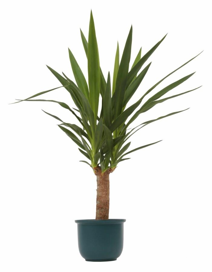 Yuccapalm perfekt för balkongen