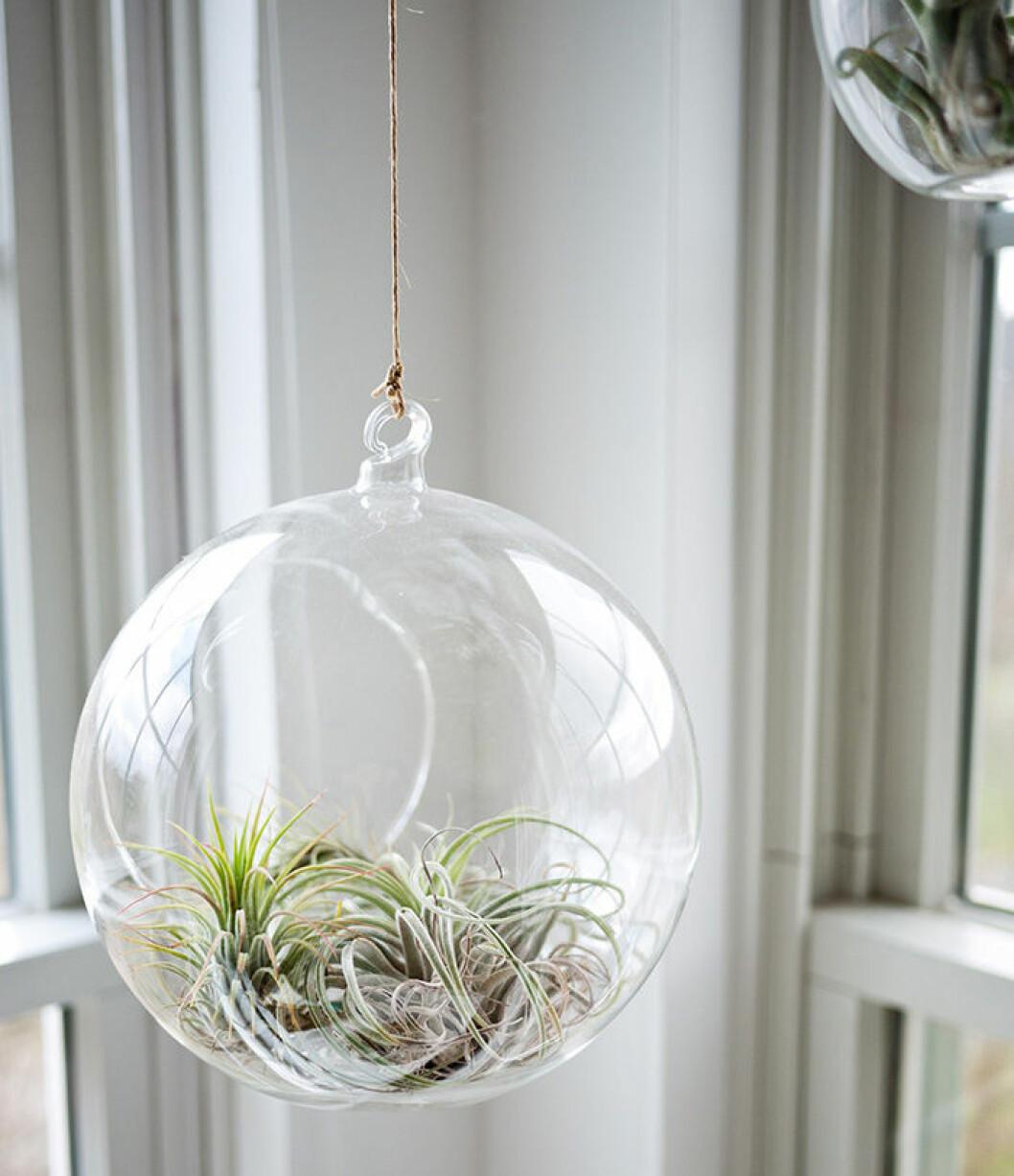 Luftplanta hängandes i en glaskula