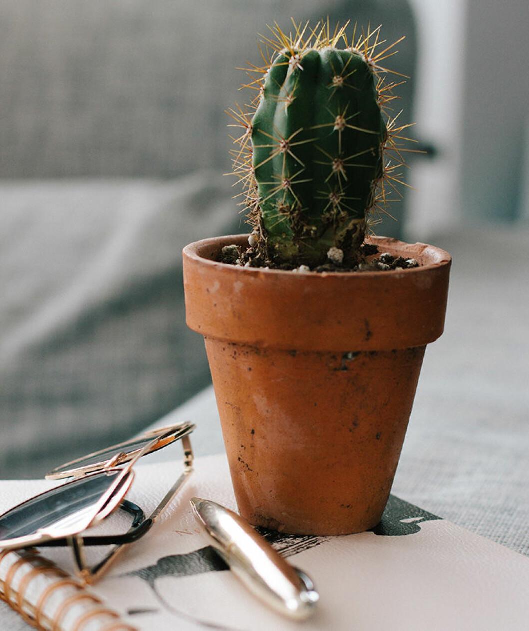 Liten kaktus i kruka