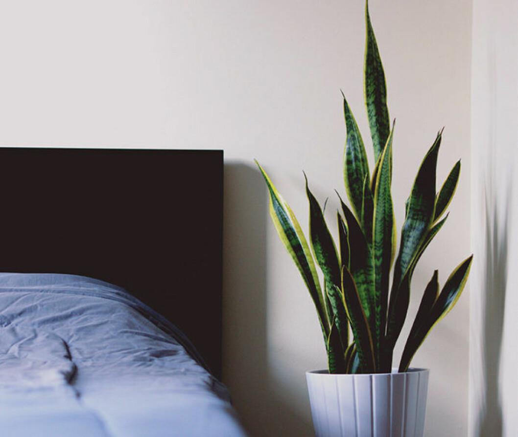 Svärmorstunga i kruka vid sängen