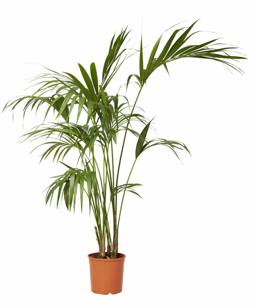 palmväxt från plantagen.