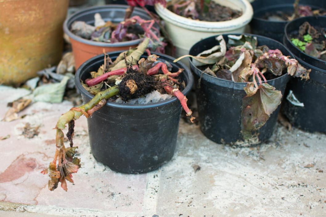 Din växt kan må hur bra som helst trots att bladen fallit av.