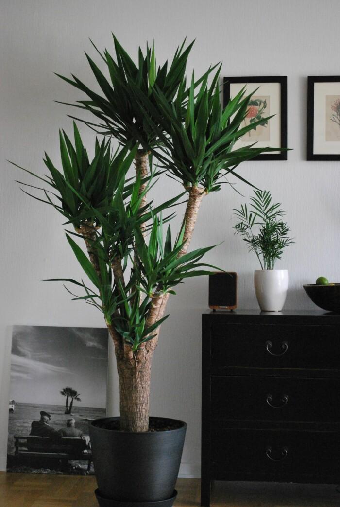 yuccapalmen är en stor växt som är ett trendigt val 2021